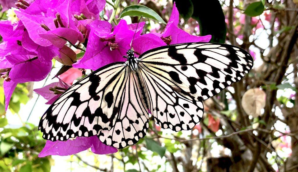 蝶 オオゴマダラ