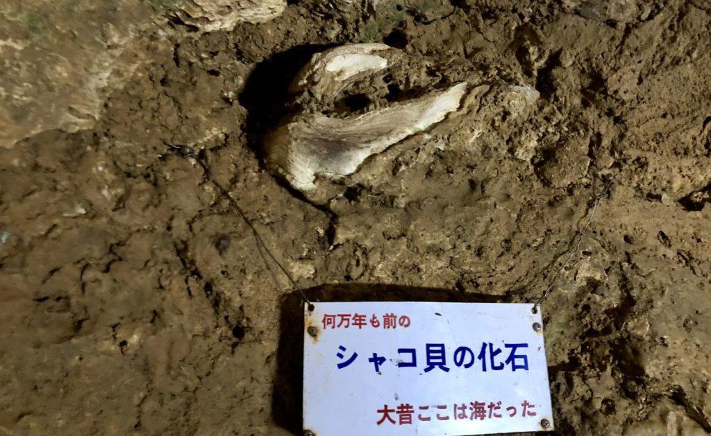 シャコ貝の化石