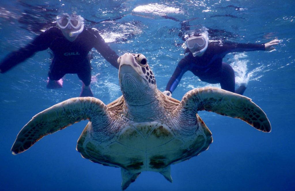 ウミガメと一緒に泳ぐ