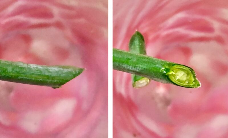 お花の定期便  bloomee(ブルーミー)お花の水揚げ方法